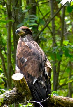 Young bald eagle with dark coloring, WV